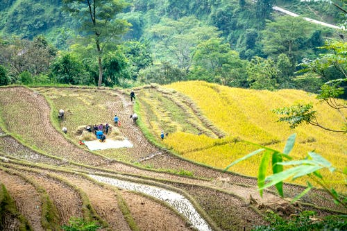 From above of unrecognizable people harvesting plants while working on rice paddies in mountainous countryside on sunny day