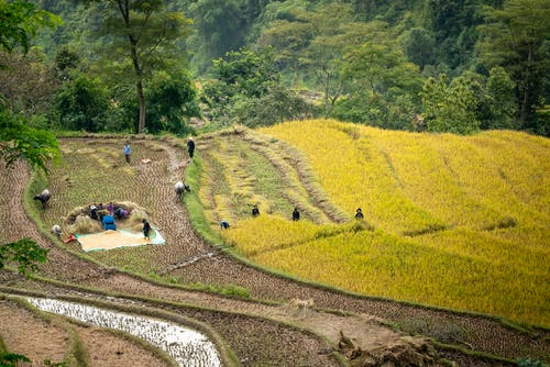 Anonymous people working on terraced rice paddy fields during harvesting season in tropical countryside