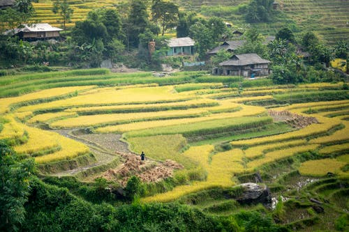 Scenery of terraced rice fields surrounded with old small country houses and green trees in rural area in sunny day