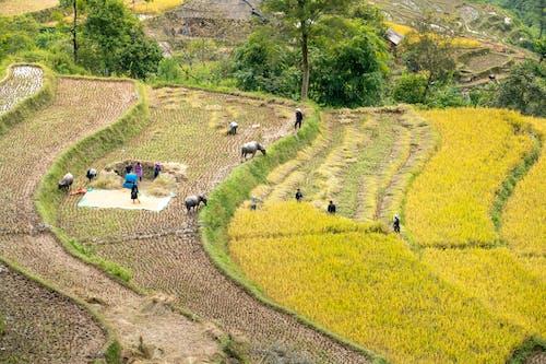 Foto stok gratis adat istiadat, agrikultura, agronomi