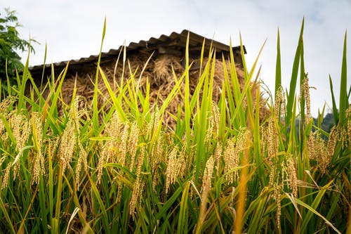 Low angle of ripened cereals growing on rural fields in sunny summer day