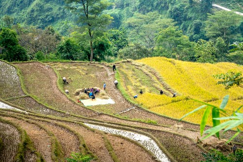 Drone view of farmers working on terraced rice field on picturesque hillside in harvest season