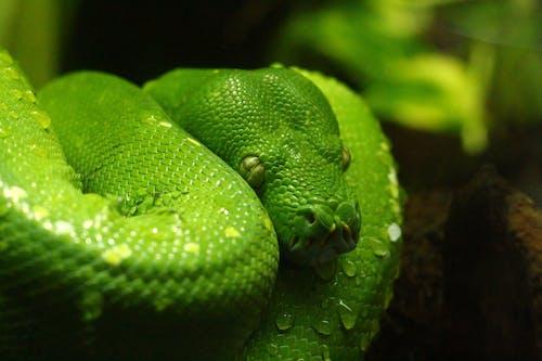 녹색, 독, 독사, 독이 있는의 무료 스톡 사진