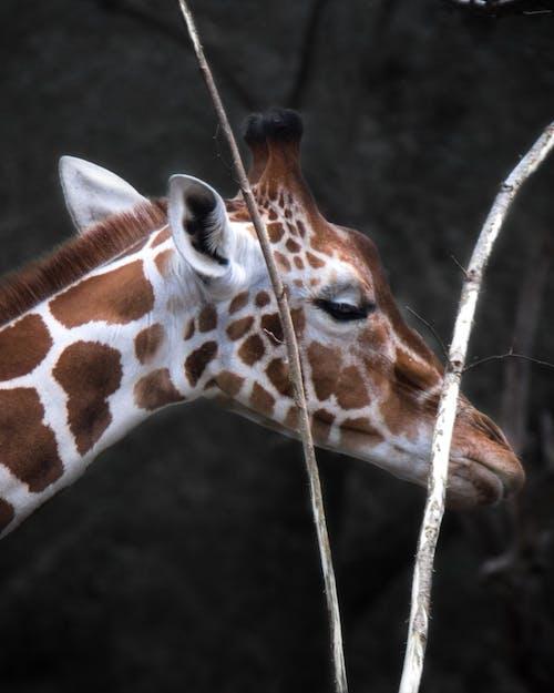 Kostenloses Stock Foto zu giraffe, muster, nahansicht, niedlich
