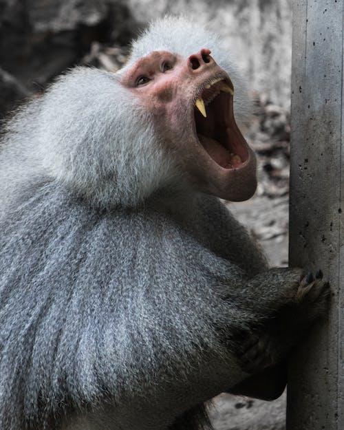 Gratis lagerfoto af abe, dyr, dyrefotografering, dyreportræt