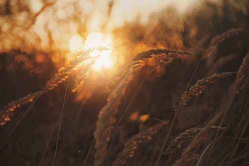 Brown Grass during Golden Hour