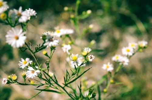 Foto d'estoc gratuïta de camp, flor, flors boniques