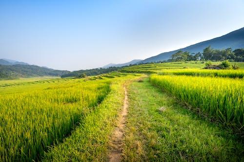 Narrow pathway amidst green fields