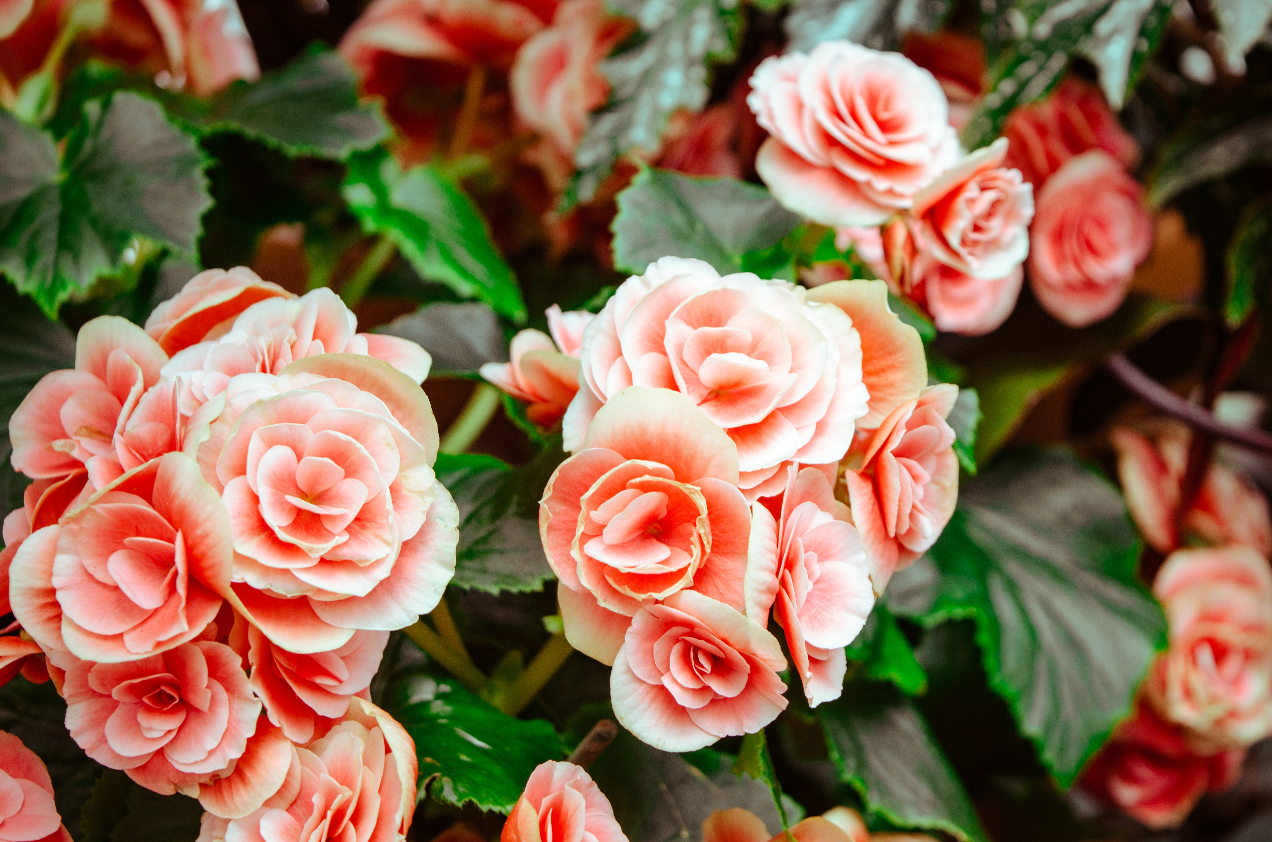 1000 engaging pink roses photos pexels free stock photos pink flowers and green leaves fetching more photos mightylinksfo