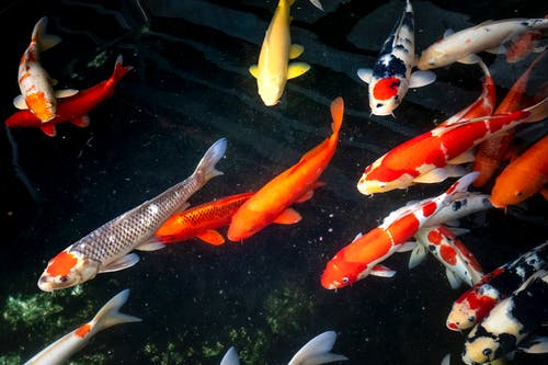 From above school of koi carps with bright orange and yellow scales swimming in clear pond with seaweed in nature