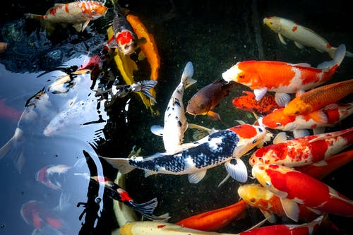 From above of various small koi carps with vivid orange and blue scales swimming in clear transparent pond in nature