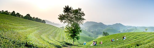 Panorama of distant workers walking in green tea fields with trails while working in countryside during harvesting season in nature