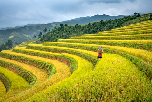 Back view of unrecognizable female farmer harvesting rice on paddy fields in mountainous countryside against overcast sky