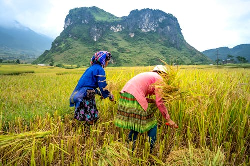 Anonymous ethnic female harvesters in traditional apparel with ornament collecting rice spikes on plantation against ridges under cloudy sky