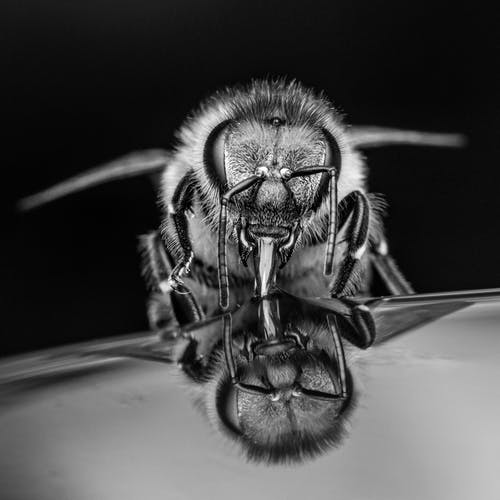 Apis mellifera bee drinking water against black background