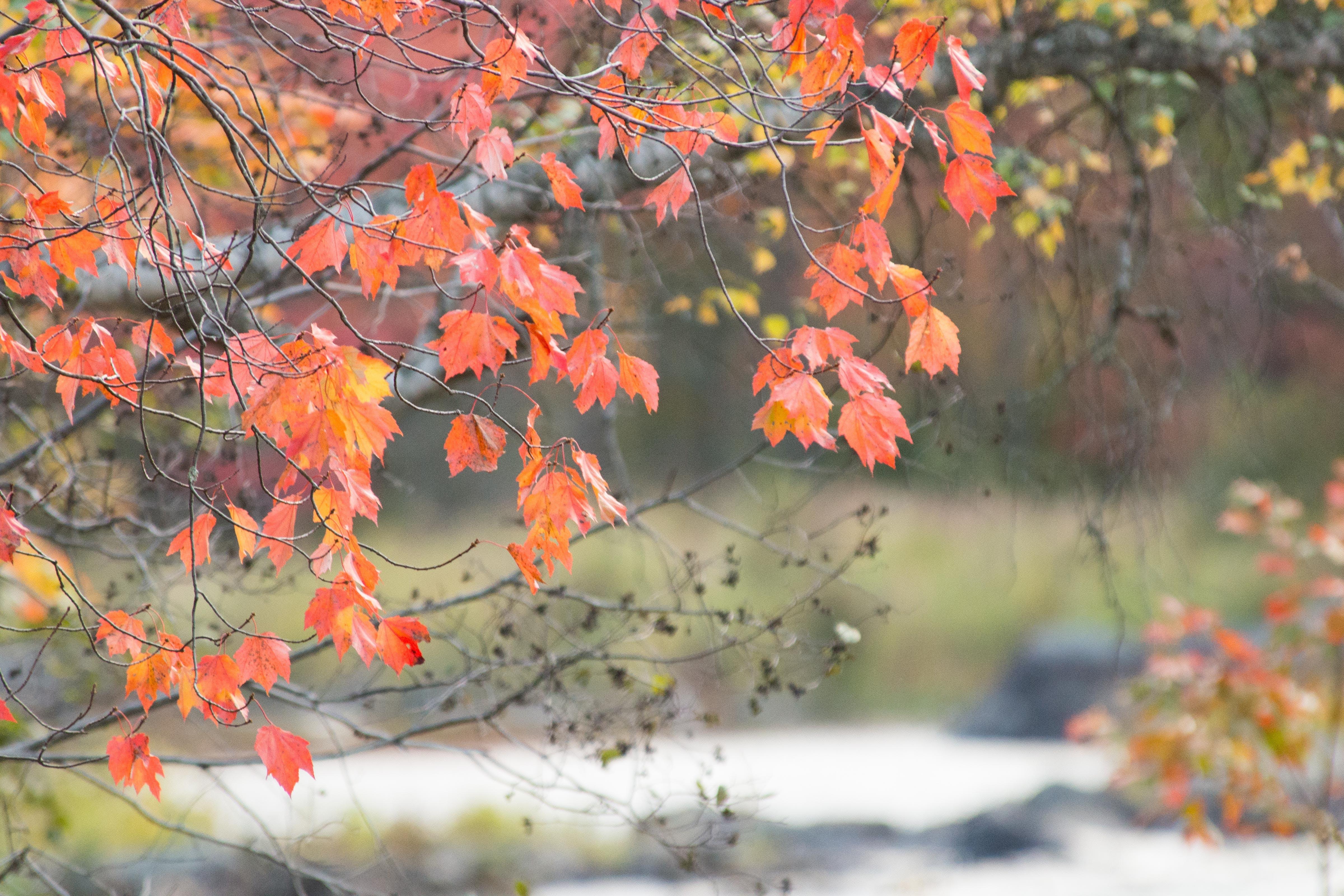 Free stock photo of autumn leaves, fall foliage