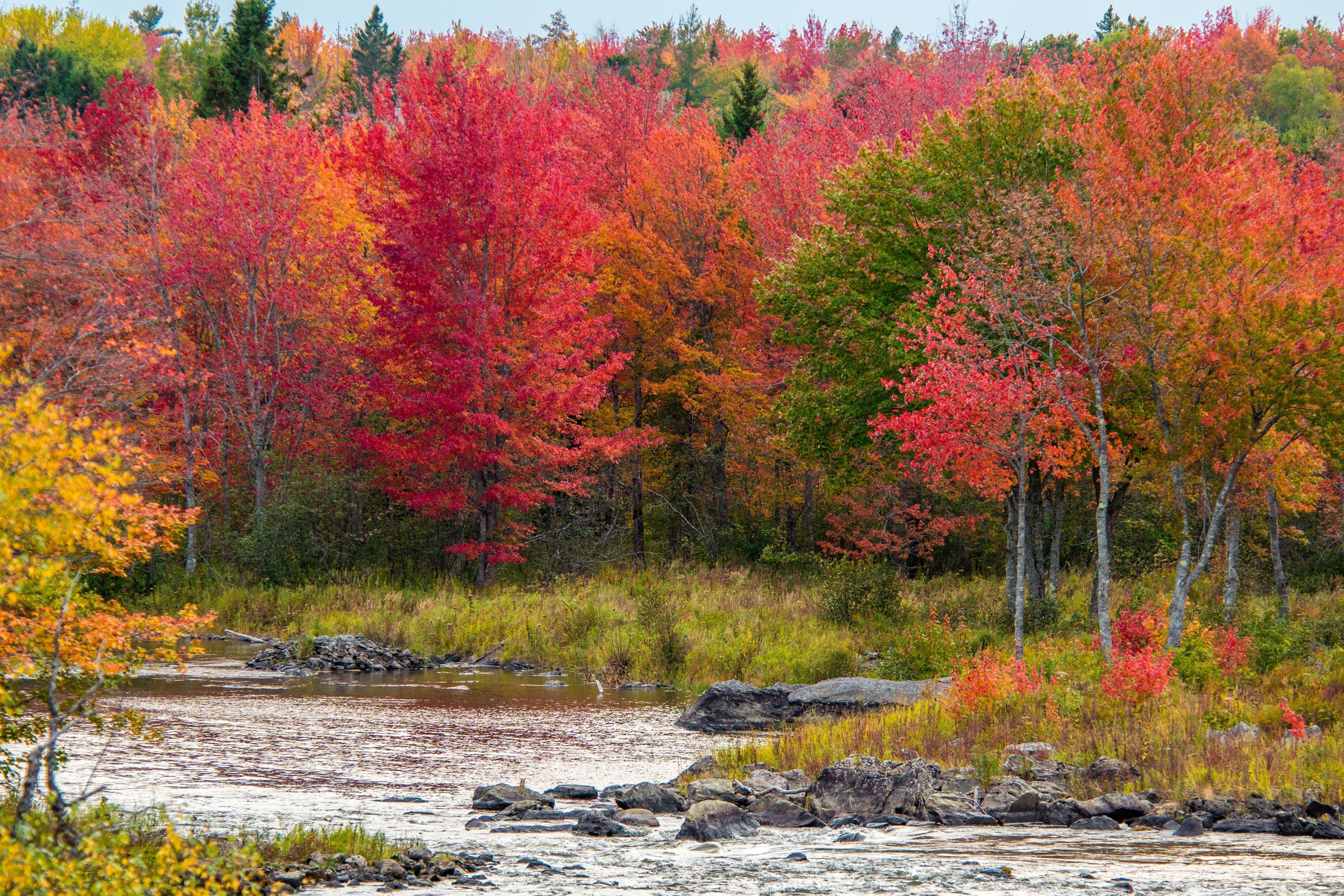 Free stock photo of autumn, autumn leaves, fall foliage, river