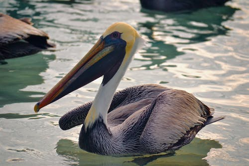 A Close-Up Shot of a Pelican on a Water