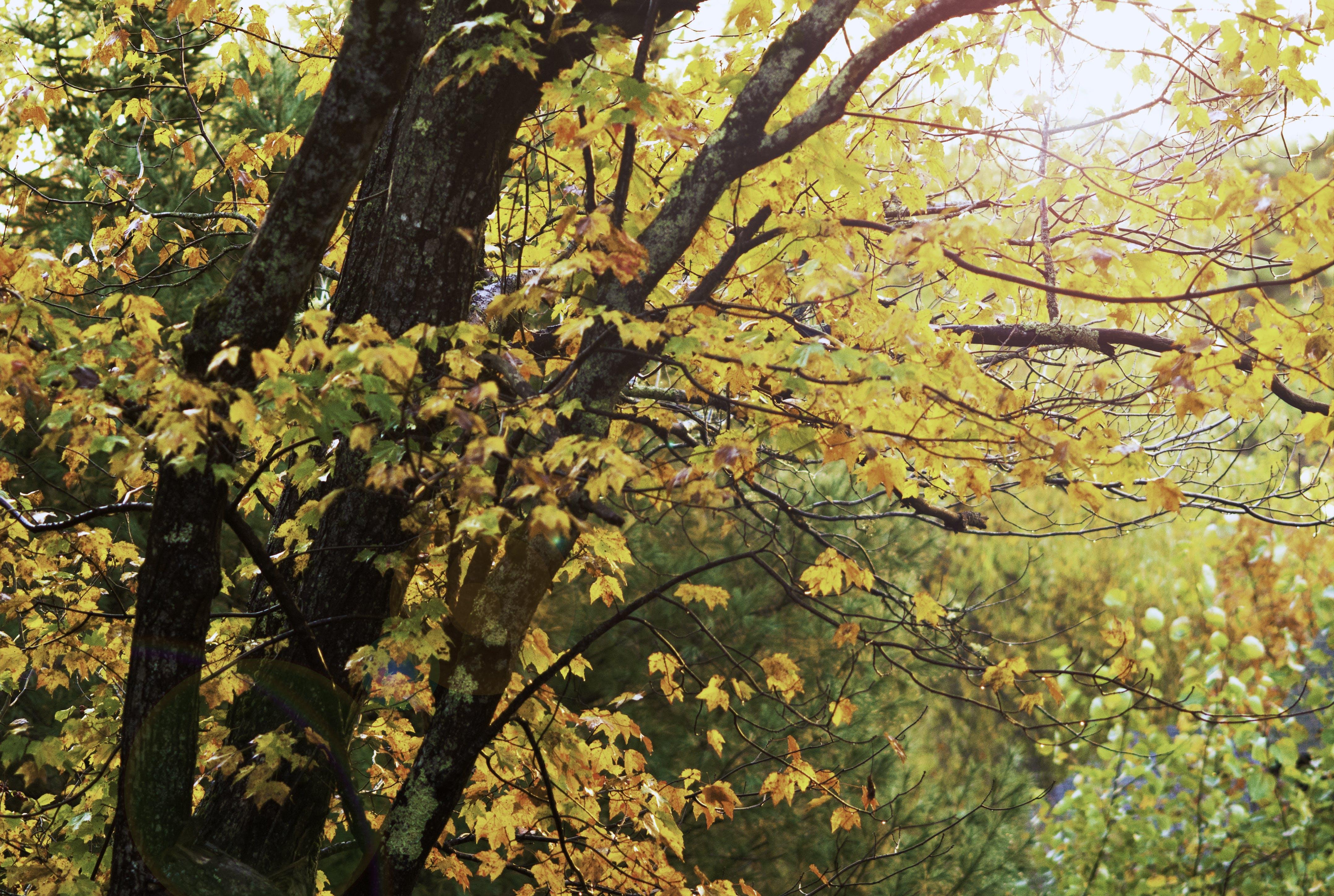 Free stock photo of autumn gold, autumn leaves, fall foliage, fall leaves