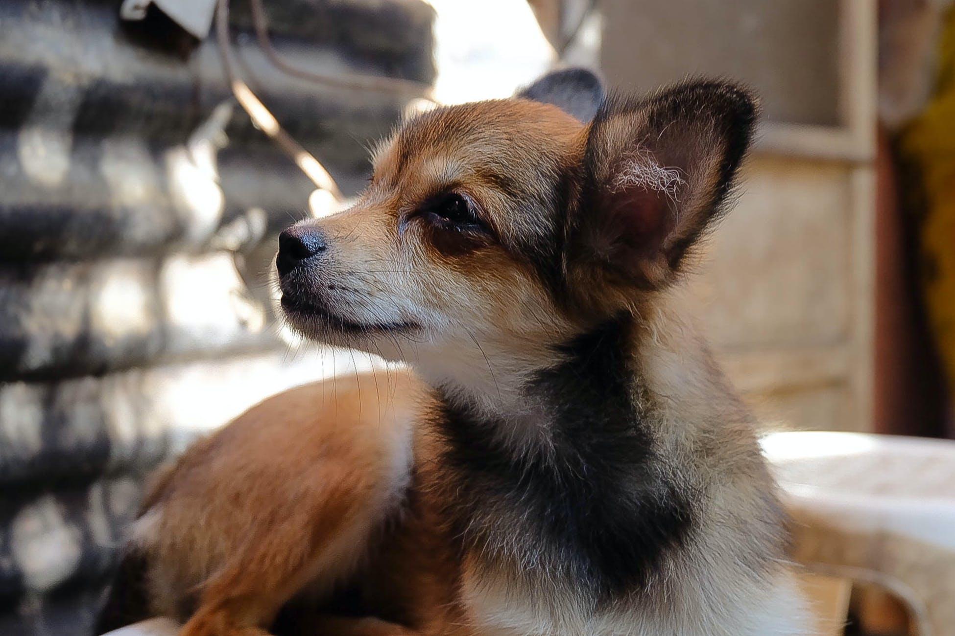 Free stock photo of animal, brown, brown dog, dog