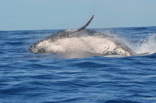 A Humpback Whale Leaping Out of the Ocean
