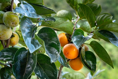 Persimmon tree with fruits and green leaves growing in countryside