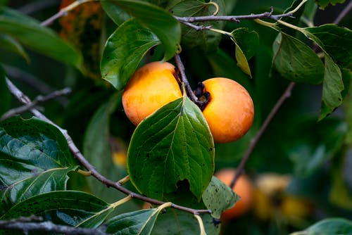 Sweet juicy persimmons growing on tree branches in countryside