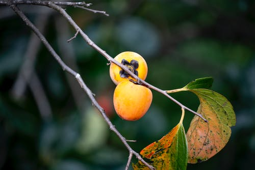 Fragile tree branch with ripe persimmons in garden