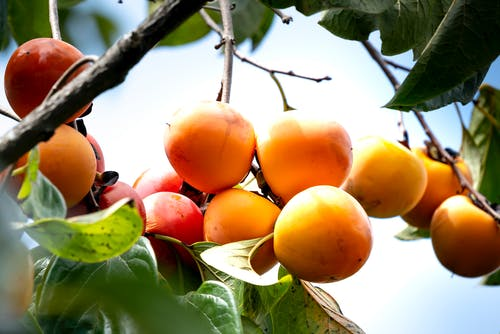 From below of yummy fresh ripe persimmons hanging from tree branches growing in farmland on sunny day