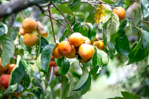 Lush persimmon bush with ripe fruits and green leaves
