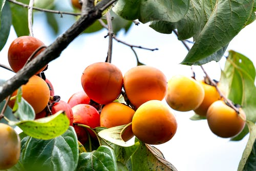 Low angle of appetizing juicy orange persimmon fruits hanging from tree branch growing in garden on sunny day