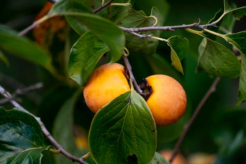 Delicious sweet persimmon fruits growing on tree branch in farm