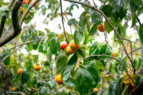 Curvy branches of persimmon tree with green leaves and appetizing fruits