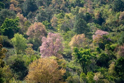 High angle of lush green trees and blooming Sakura growing in forest on sunny day