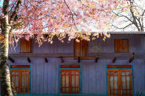 House facade against blooming Sakura tree in countryside