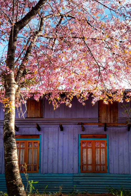 Blooming Sakura with aromatic flowers on curved branches against residential building exterior in countryside on sunny day
