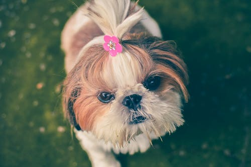 Adult Shih-tzu Standing on Green Grass
