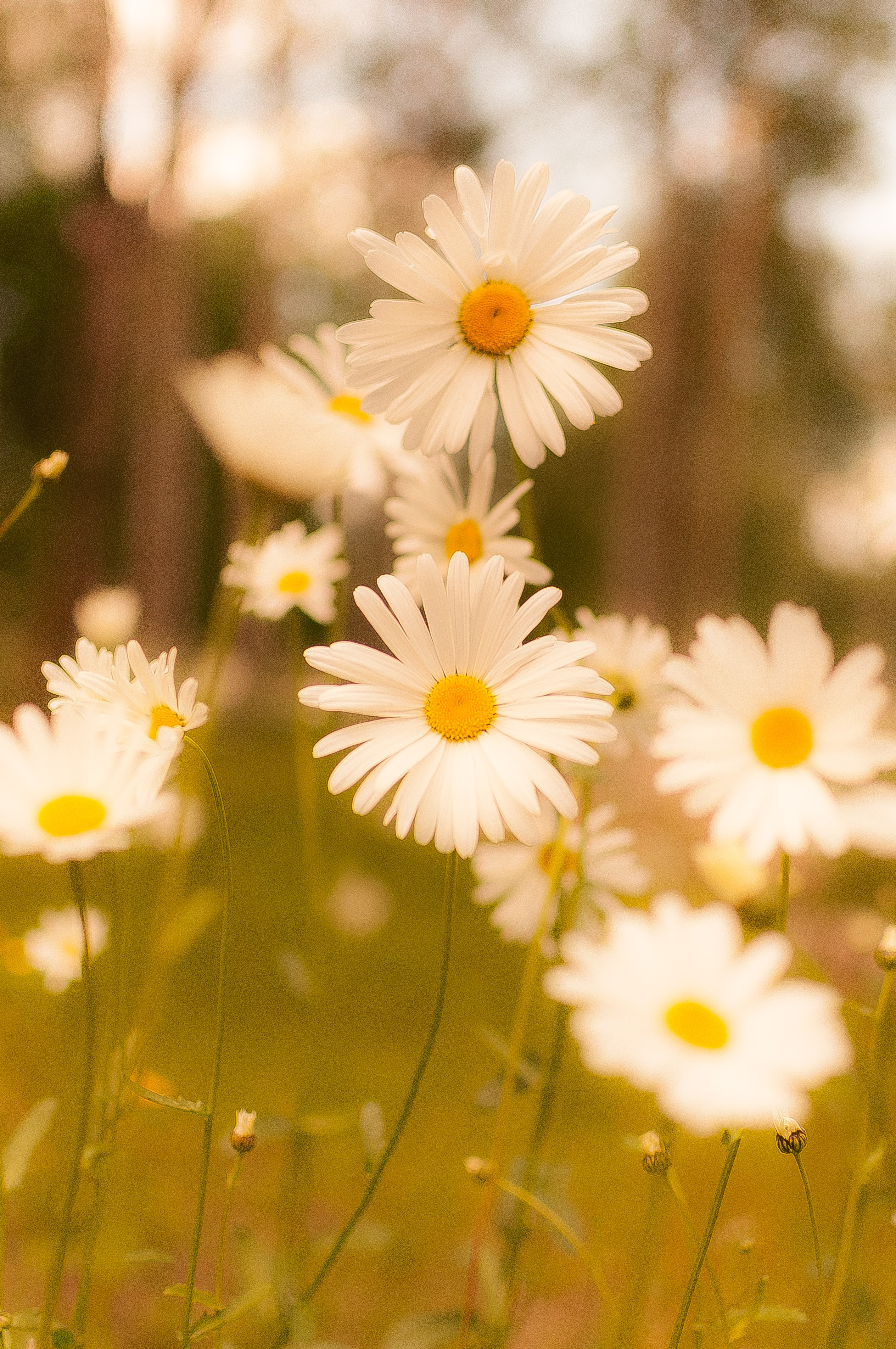 200 Amazing Daisy Photos Pexels Free Stock Photos
