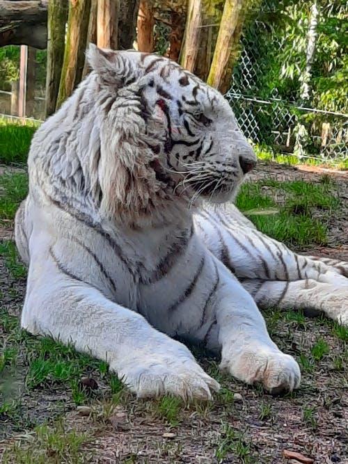 アルビノタイガー, ホワイトタイガー, 大きな猫の無料の写真素材