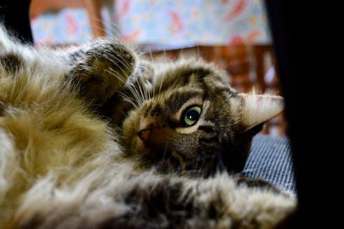 Free stock photo of cat, feline, fluffy, Fluffy kitty
