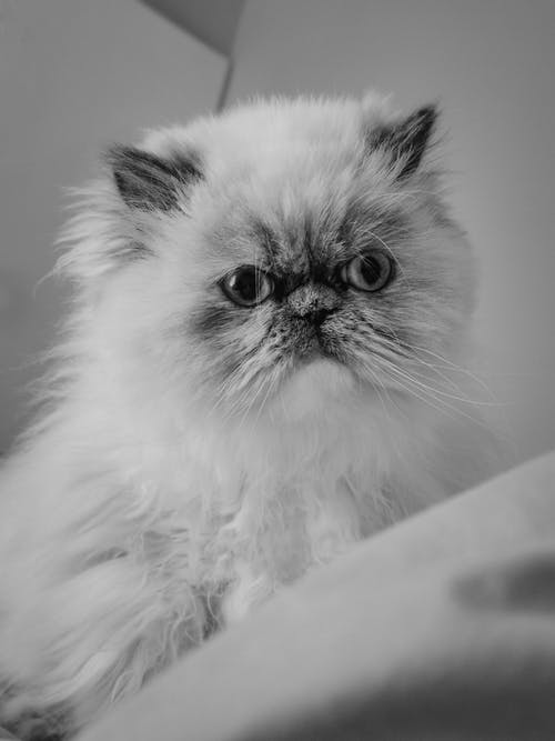 Black and white portrait of cute Persian cat with fluffy muzzle looking forward while sitting on blurred background