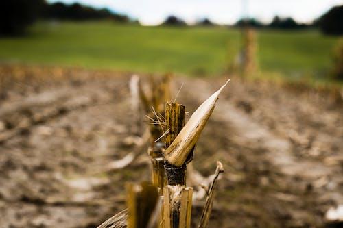 Free stock photo of corn, corn field