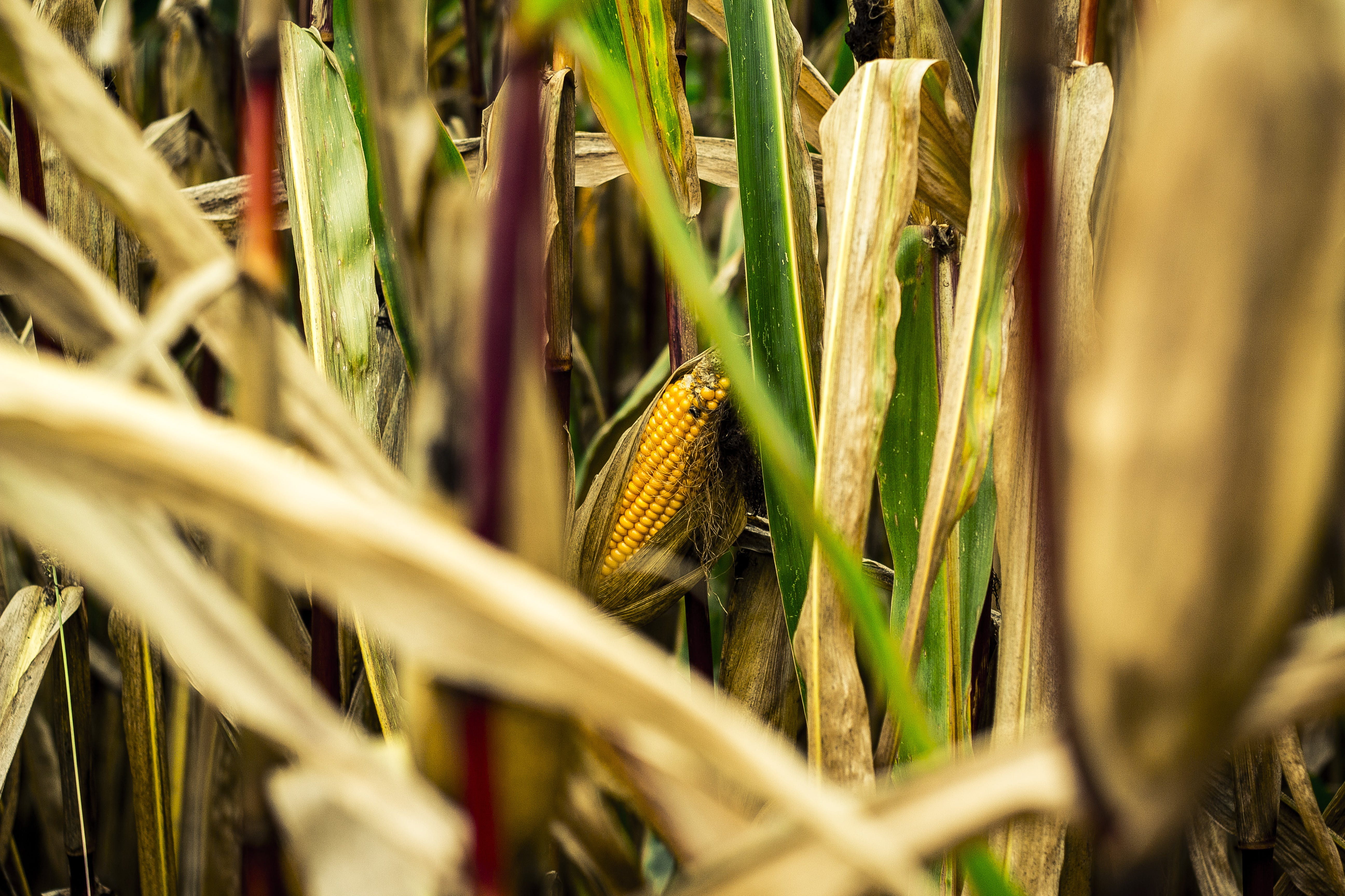 Brown and Green Corn Field