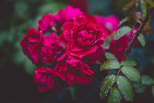 Photography of Red Roses