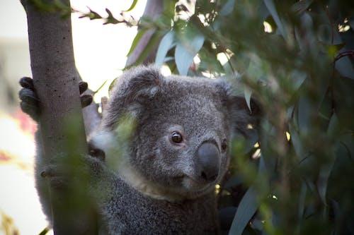 Koala Bear on Tree