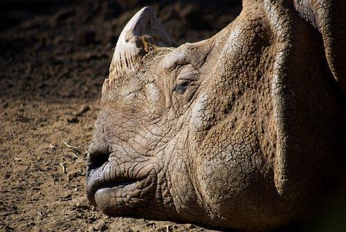 Brown Rhinoceros on Brown Ground