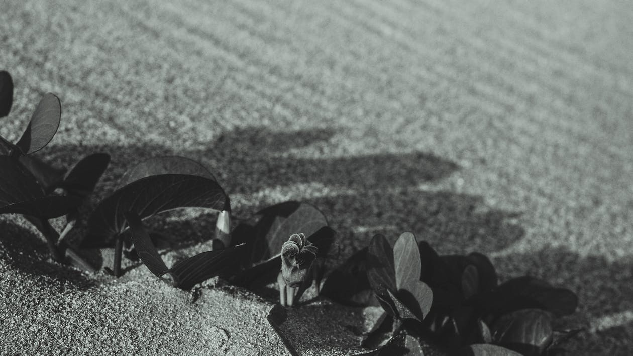 blanco y negro, flores