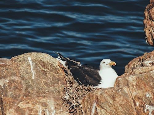 Бесплатное стоковое фото с animales, ave descansando, aves, gaviota