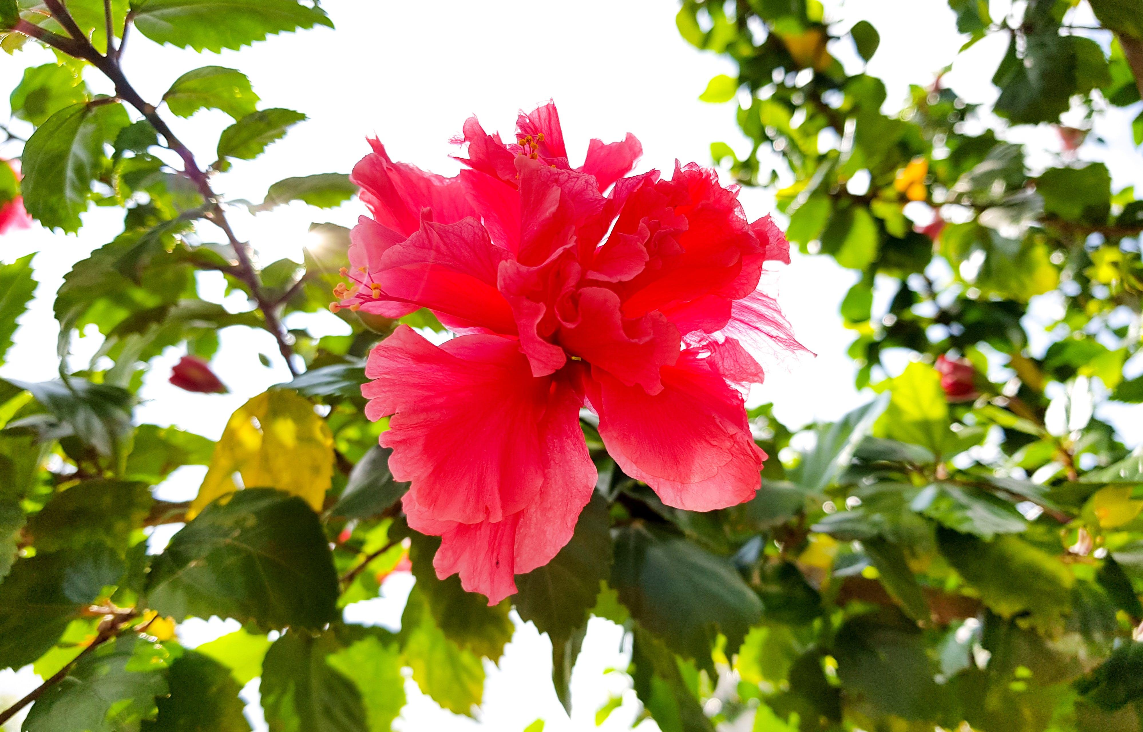 Kostenloses Stock Foto zu blume, gartenblume, hibiskus