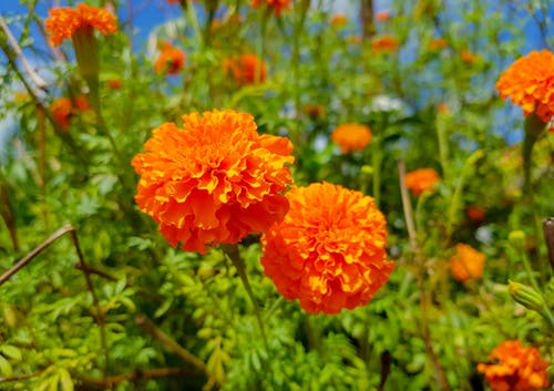 Free stock photo of flower, garden, marigold